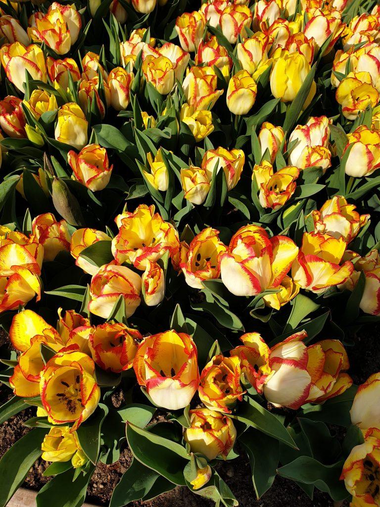 tulipani-parco-sigurtà