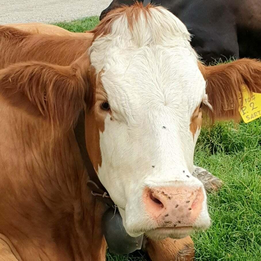 mucche-malga-serona